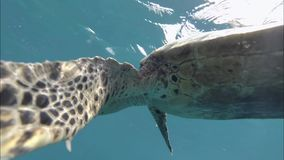 Large turtle swims under the water. Indian Ocean. Video stock video