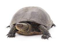 Large turtle. Royalty Free Stock Images