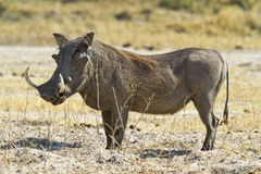 Large tusk male warthog. Large male Phacochoerus africanus or common warthog with exceptionally long tusks photographed in chobe national park, botswana, africa Stock Image