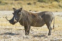 Large tusk male warthog Stock Image