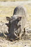 Large tusk male warthog. Large male Phacochoerus africanus or common warthog with exceptionally long tusks photographed in chobe national park, botswana, africa Stock Photos