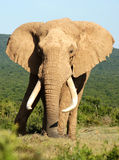 Large-tusked Addo Elephant. This large tusked elephant in the Addo Elephant Park is one of the large elephant herds encountered daily particularly at its largest stock image