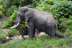 Large-tusked elephant bull, Kenya Stock Photography