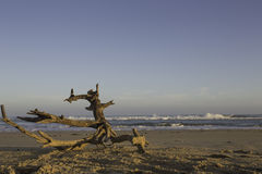 Driftwood on a deserted beach Stock Photography