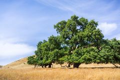 Free Large Valley Oak Quercus Lobata Surrounded By Fields Of Dry Grass, Santa Clara County, South San Francisco Bay Area, California Stock Image - 135819281