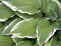 Large variegated leaves with white contrast edges, hosta close up Royalty Free Stock Images