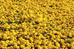 Large variety of growing yellow flower. The large variety of growing yellow flower royalty free stock photos