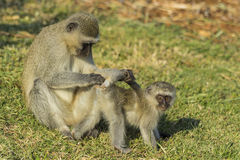 Large vervet monkey searching baby for ticks Royalty Free Stock Photos