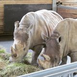 Large and very strong rhinoceros walking in a zoo in Erfurt. Royalty Free Stock Photos