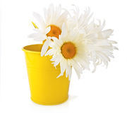 Large Vibrant Chamomile in the Bucket Stock Images