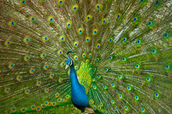 Large view on peacock presenting its tail. View on a peacock showing its beautiful, colroful tail in full spread Royalty Free Stock Photos