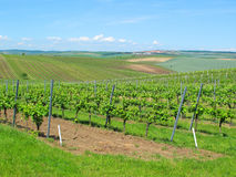 Large vineyard fields. South Moravia, Czech republic royalty free stock image