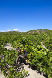 Large vineyard at Gruissan Stock Images