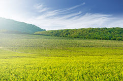 Large vineyard with hills in the background - landscape Stock Photo
