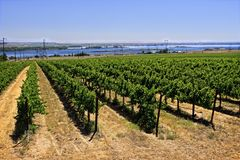 Vineyard near the shores of the Columbia River Royalty Free Stock Images