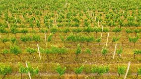 Large vineyard rows in Georgian countryside, agriculture, organic production royalty free stock images