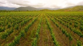 Large vineyard rows, winemaking in Georgia, agriculture and farming, aerial view. Stock photo royalty free stock photos