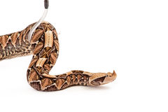 Large Viper Snake Being Picked Up Stock Image