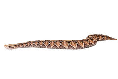 Large Viper Snake Side View Stock Photography