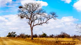 Large Vulture Nests in a bare tree in the drought stricken landscape of Kruger National Park. Near Letaba Rest Camp in South Africa stock photography