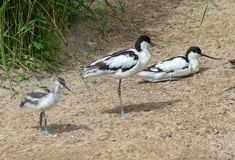 Pied Avocet Stock Images
