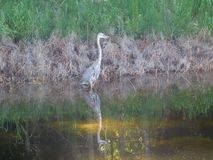 Great blue heron Ardea herodias is a large wading bird. Large wading bird in the heron family Ardeidae, common near the shores of open water and in wetlands over stock photography