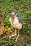 Large wading bird Marabou stork Royalty Free Stock Photography