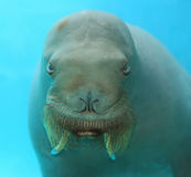 Large Walrus Face Underwater Stock Images