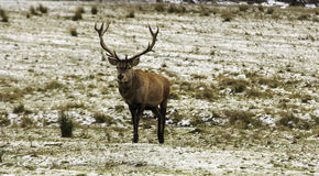 A large wapiti in the forest. Large wapiti in the forest Royalty Free Stock Images