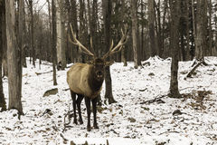 A large wapiti in the forest. Large wapiti in the forest Royalty Free Stock Image