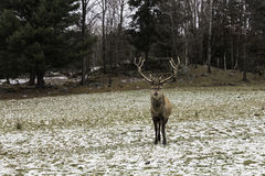 A large wapiti in the forest. Large wapiti in the forest Stock Image