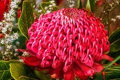 Large Waratah Flowerhead. Impressive unusually large red waratah bloom in a stunning visual display at the Waratah Festival in the Blue Mountains at Mount Tomah Stock Photography