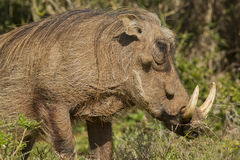 Large warthog with huge ivory tusks. Large warthog with large ivory tusks chewing green grass Royalty Free Stock Photography