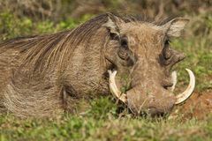 Large warthog lying in long grass. With huge ivory tusks Stock Photo