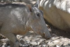 Large Warthog Walking Along with his Foot Raised stock photos