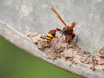 A large wasp Eumenes builds a nest from the ground stock photography