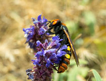Large wasp on a flower Royalty Free Stock Image