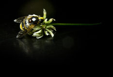 Large wasp on a flower with black background Stock Photography