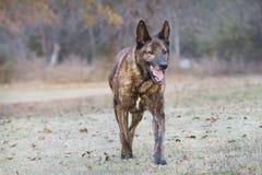 Large watch dog walking in autumn Royalty Free Stock Image