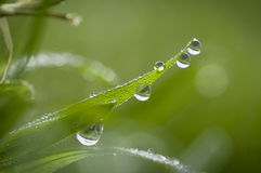 Large Water Drops on Blade of Grass. Blade of grass covered in large dew drops Stock Photos