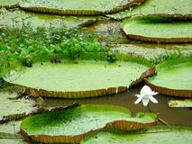 Large water lilies. Amazon rain forest Stock Image