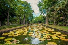 Large water lilies botanical Garden Pamplemousses, Mauritius. stock photography
