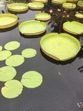 Large water lilies in the pond stock photo