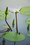 Large water lily in river Stock Photos
