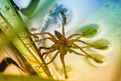 Large water spider Dolomedes plantarius, close-up in a natural environment. Raft spider Royalty Free Stock Photography