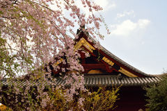 Large Weeping Cherry around Shrine in Japan Stock Photos
