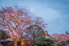 Large Weeping Cherry Tree in spring Stock Image