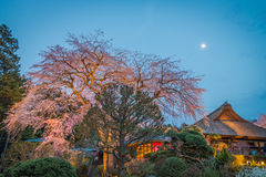 Large Weeping Cherry Tree in spring Royalty Free Stock Images