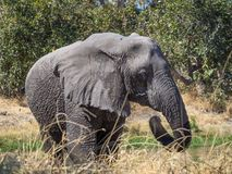 Large wet African elephant walking through dry grass at Moremi Np, Botswana, Africa Stock Photo