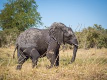 Large wet African elephant walking through dry grass at Moremi Np, Botswana, Africa Stock Image
